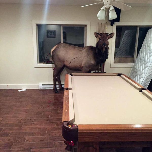 An elk crashed through a window into a resident's daylight basement north of Hailey, Idaho, early Wednesday morning.