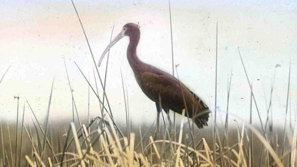 Malheur National Wildllife Refuge now hosts 20 percent of the world's population of white-faced ibis.