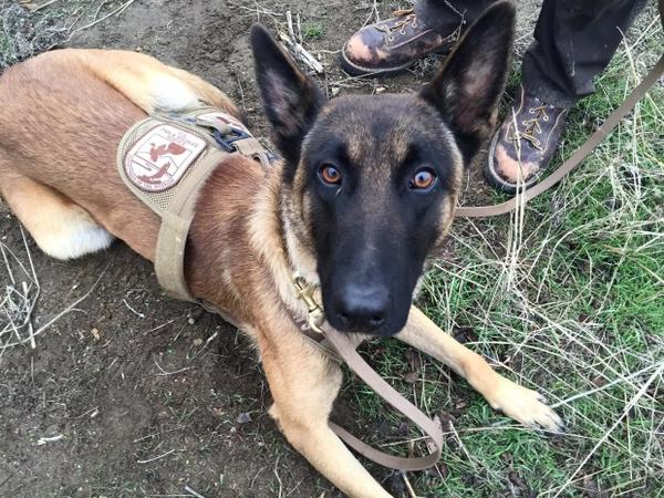 <p>Ukkie speaks Dutch and knows commands like apport, or fetch. He can help trackdown drug traffickers, find lost hikers, and search for poachers.</p>