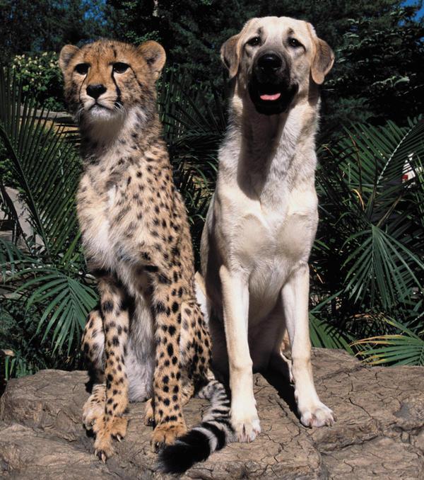 The cheetah Sarah and the Anatolian shepherd Alexa were raised together and became lifelong companions.