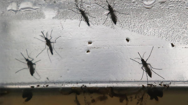 <em>Aedes aegypti</em> mosquitoes are displayed at an exhibition on Jan. 28 in Brazil. The mosquitoes can be carriers of the Zika virus. Several cases of the virus have spread to Puerto Rico.