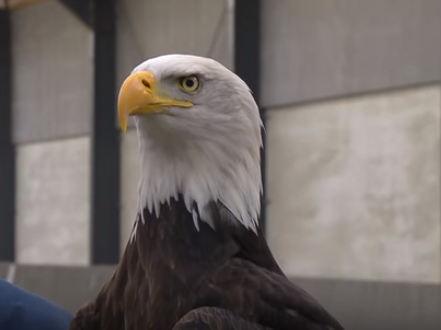 One of the bald eagles being trained by Dutch police to snatch drones from the sky.