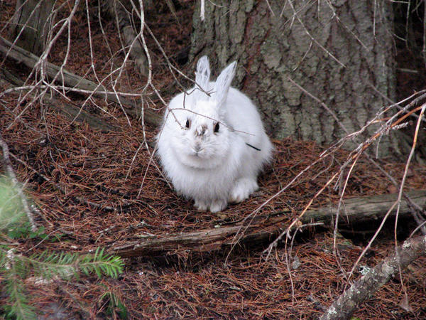 Easy pickings? A snowshoe hare in winter coat stands out before the snow falls.