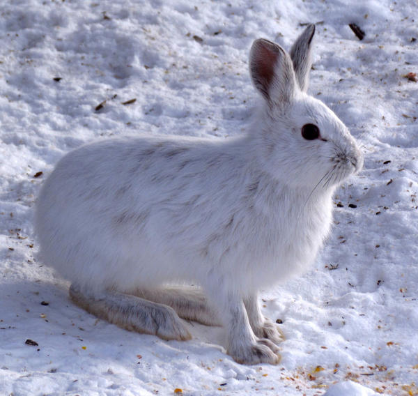 File photo. Snowshoe hares with proper camouflage have a significantly higher chance of survival.