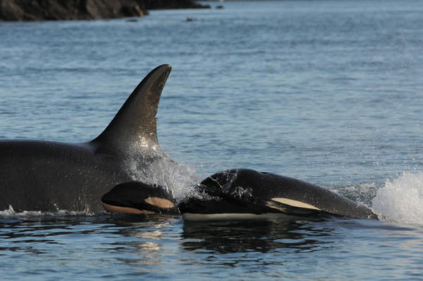 <p>Two of the Puget Sound orcas, J28 and J54 swimming with a third unidentified killer whale.</p>