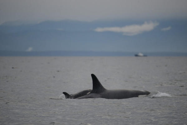 <p>Two of Puget Sound's orcas, L91 and L122.</p>