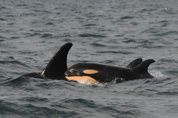<p>Two Puget Sound orcas, J53 and J17.</p>
