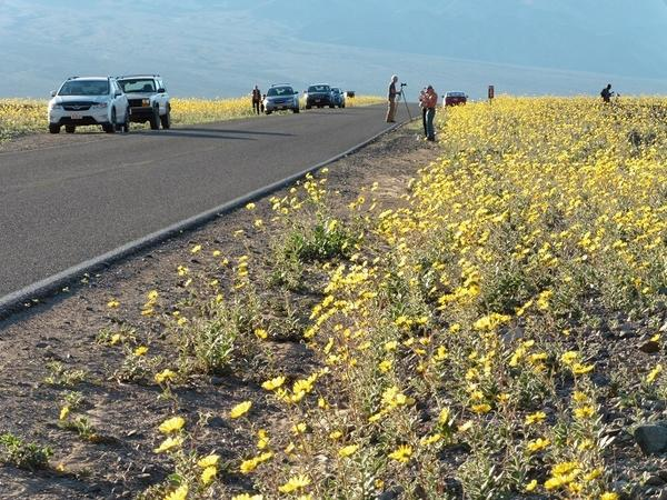 The National Park Service says this year's wildflower bloom is the best one Death Valley has seen in years.
