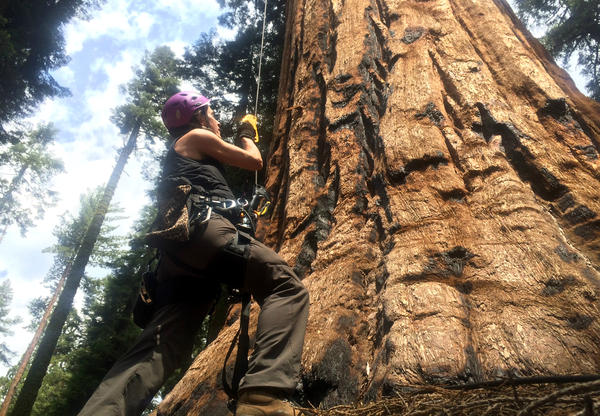 <strong></strong>UC Berkeley tree biologist Wendy Baxter is about to begin her ascent of a giant sequoia.<strong></strong>