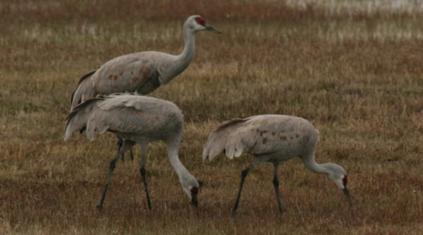 <p>Sandhill Cranes arrive at the Malheur National Wildlife Refuge every winter.</p>