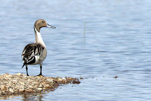 <p>A Northern Pintail looks for food at Malheur Lake on the Malheur National Wildlife Refuge. The 41-day occupation curtailed efforts to control the invasive common carp and allowed the fish population to boom. Now, biologists are working to come up with a plan to make up for lost time and reverse the negative impacts of the fish.</p>