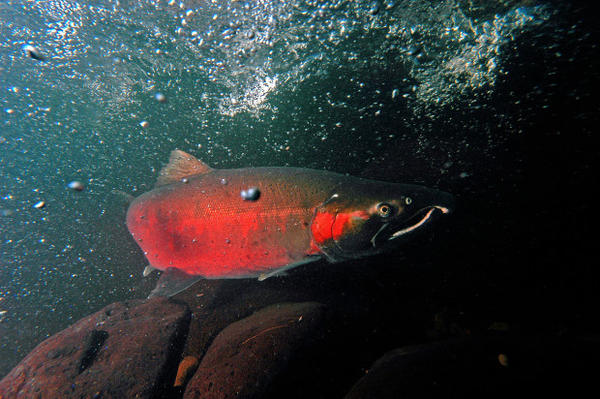 <p>A coho salmon makes its way up Cedar Creek on its way to the Sandy fish hatchery.</p>