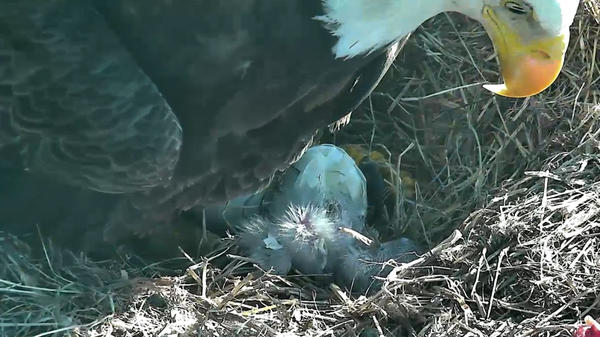 With its parent eagle looking on, a baby bald eagle emerged from its egg Friday morning.