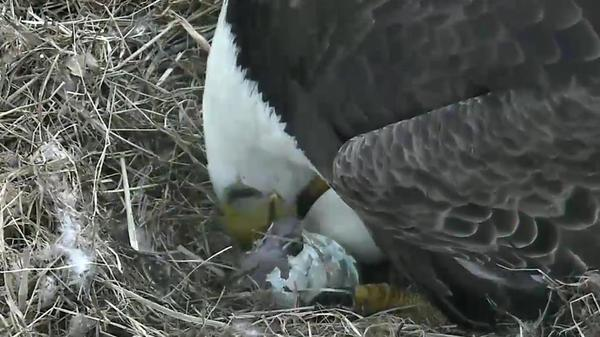 Shortly after daybreak Friday, a baby bald eagle began to emerge from its egg in earnest.