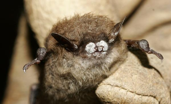 A little brown bat shows symptoms of white-nose syndrome.