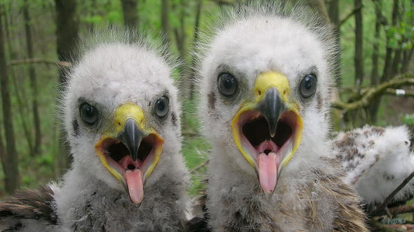 Baby spotted eagles open wide for the camera, in the area around Chernobyl, in Belarus.