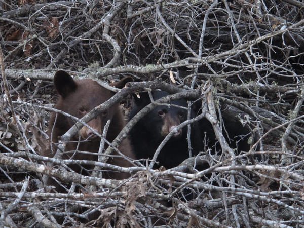These two black bear yearlings in south central Missouri wake up briefly from a deep slumber. Despite their name, the North American Black Bear can be found in many colors, including brown, gray, blond and even white.