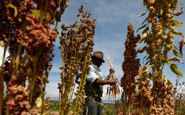 A Bolivian farmer harvests organic quinoa in his fields in Puerto Perez, Bolivia. Some researchers are working with quinoa farmers in Bolivia and Peru to try to develop internal markets for threatened varieties — for example, in hospital and school food programs.