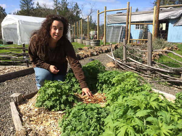 Brie Malarkey tends to motherwort in the herb garden outside her Shady Cove home. This year's crop of marijuana is still indoors.
