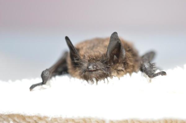 <p>Officials confirmed this brown bat found in King County, Washington, contracted white-nose-syndrome.</p>
