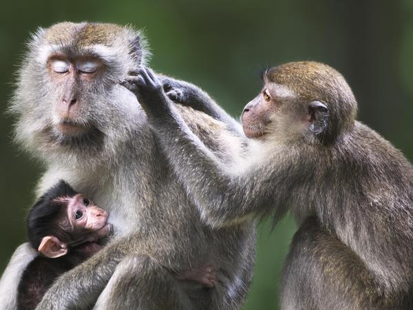 Macaque monkeys (above, in Malaysia) carry the parasite for a strain of malaria called <em>Plasmodium knowlesi.</em>