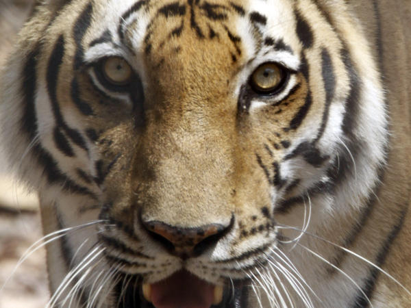 A tiger in a rescue center in Cambodia in 2011.