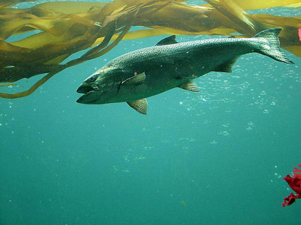<p>Chinook salmon</p>