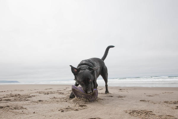 <p>Bill Minnix's service dog, Elsa, on the beach in Pacific City.</p>