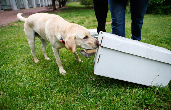 "Cybil Preston, chief apiary inspector for the Maryland Department of Agriculture, does a training run with Mack: She sets up fake beehives and commands him to ""find."" He sniffs each of them to check for American foulbrood. He has been trained to sit to notify Preston if he detects the disease."