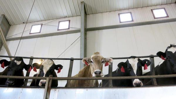 A curious Brown Swiss dairy cow peers over Casey DeHaan's rotary parlour outside Ault, Colo.