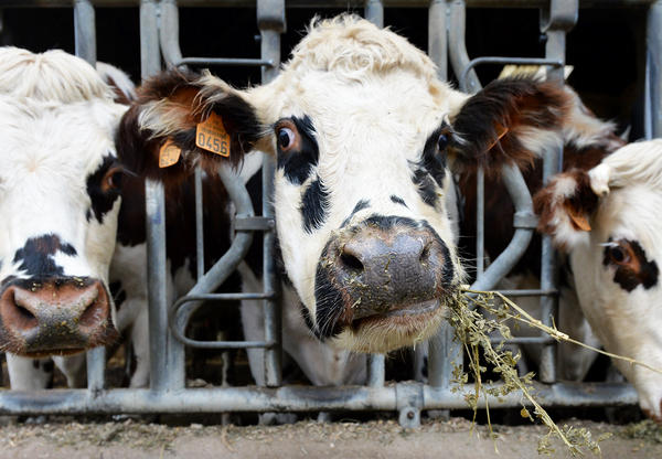 Normandy cows feed on alfalfa before milking at a farm in Courcite, northwestern France. Feeding cows alfalfa could reduce how much they burp. So could feeding them oregano, which has belch-squelching essential oils.