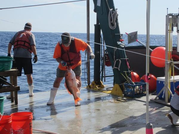 A researcher pulls a fish aboard the R/V Weatherbird II for examination.