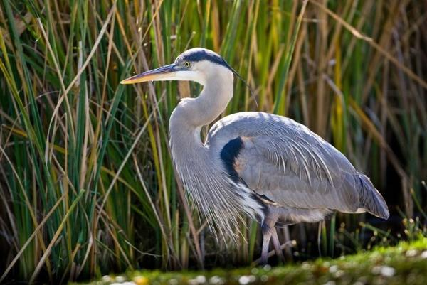 <p>Great blue heron</p>