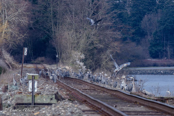 <p>Great blue herons congregate along the railroad tracks leading to the oil refineries near Anacortes, Washington.</p>
