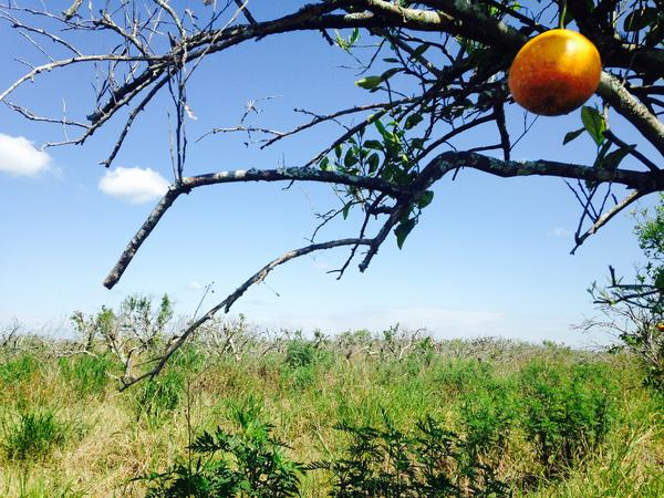 The Florida Department of Agriculture plans to shred the trees of this abandoned orange grove in Hendry County to remove the citrus greening bacteria from the property.