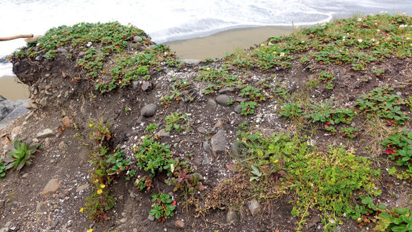 <p>A section of coastline that has almost completely eroded away. Archeologist Michael Peterson says this spot has lost nearly a meter of sediment in the past decade.</p>