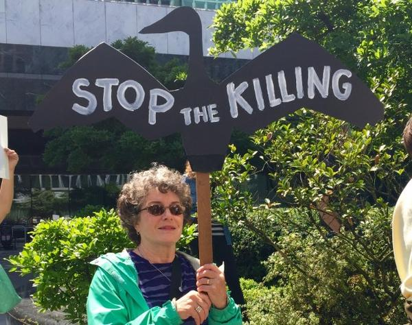 <p>Protesters say the government is blaming cormorants for threats to salmon that are actually caused by dams.</p>