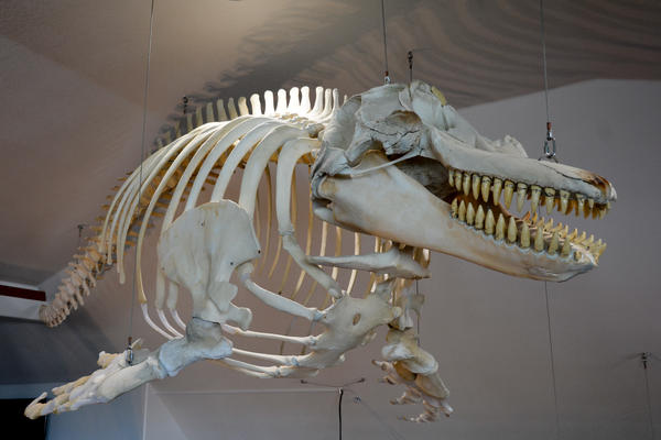 This orca whale skeleton is one of several whales on display in the new Charleston Marine Life Center.