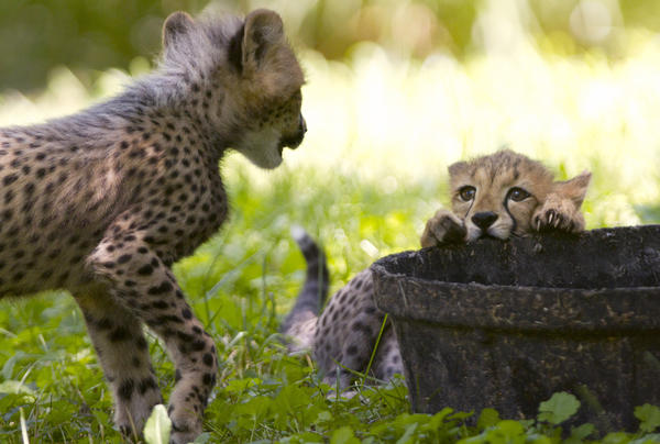 <strong>The Cheetahs In Question:</strong> Two three-month-old cheetah cubs play during their first week of being on public view at the National Zoo. The animals were named after U.S. track stars Justin Gatlin and Carmelita Jeter. But like even the smallest of felines, there is precious little chance they will ever show even a flicker of recognition upon hearing their name called.