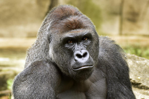 Harambe, a western lowland gorilla, was fatally shot Saturday, May 28, 2016, to protect a 3-year-old boy who had entered its exhibit.