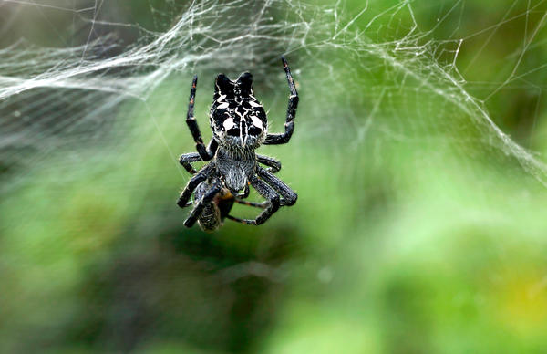 <em>Cyrtophora citricola</em>, a type of orb-weaving spider, live in big colonies. So males potentially have a large pool of females from which to choose a mate.