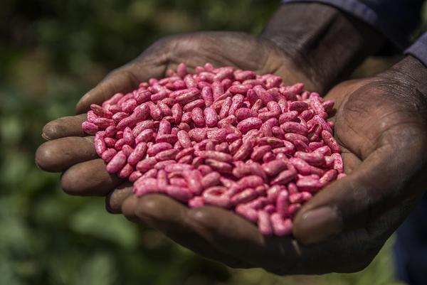 A farmer handles a bag of Syngenta's bean seeds on a farm near Johannesburg, South Africa.