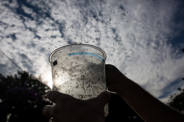 Genetically modified mosquitoes are released in Piracicaba, Brazil, in an effort to combat Zika virus. These mosquitoes were modified using conventional techniques.