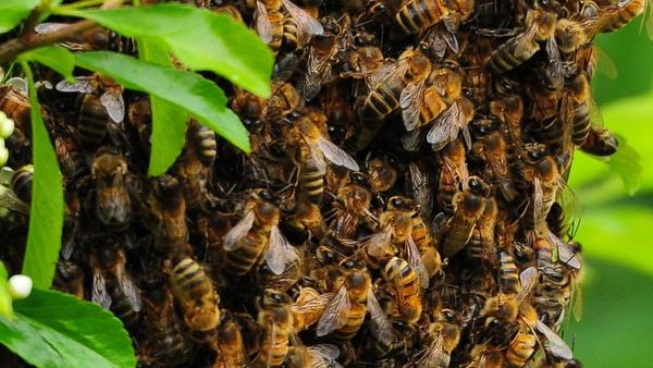 Late spring is swarm season, the time of year when bees reproduce and find new places to build hives.