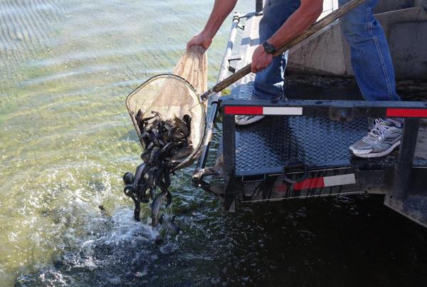 <p>Stocking tiger trout in Diamond Lake.</p>