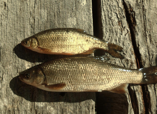 <p>Tui chub (bottom) and a golden shiner (top). Both fish are present in Diamond Lake, but ODFW says the shiners don't proliferate and affect water quality nearly as intensely as the chub.</p>