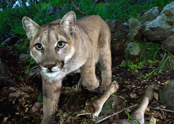 The Colorado boy was attacked by a mountain lion (though not this particular animal, photographed by the National Park Service in California's Santa Monica Mountains National Recreation Area).