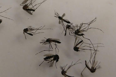 Aedes aegypti mosquitoes, one of the species that can spread Zika, lay in a petri dish at the Broward County Mosquito Control.