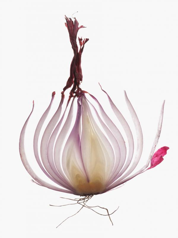 The onion is multilayered in its complexity — literally and metaphorically.