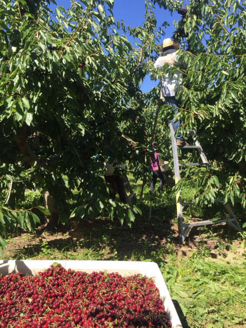 Cherry pickers are hard at work, trying to beat even the slightest chance of rain in the Yakima Valley forecast. A single rain storm can destroy up to 20 percent of an orchard's crop.